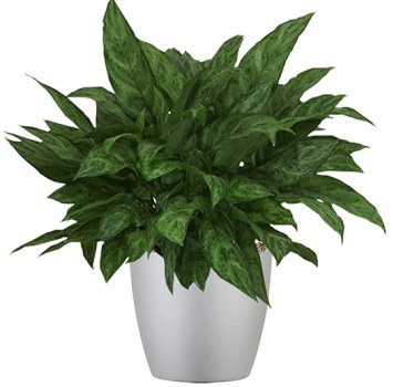 tropical-plant-leasing-browse-plants-aglaonema-amelia