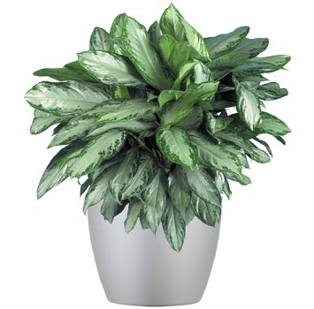 tropical-plant-leasing-browse-plants-aglaonema-golden-bay