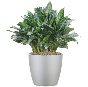 tropical-plant-leasing-browse-plants-aglaonema-mary-ann