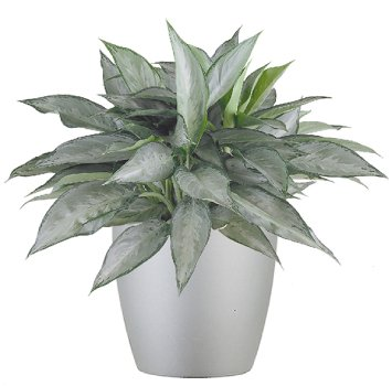 tropical-plant-leasing-browse-plants-aglaonema-silverado