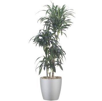 tropical-plant-leasing-browse-plants-dracaena-lisa-cane