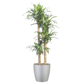 tropical-plant-leasing-browse-plants-dracaena-massangeana-cane