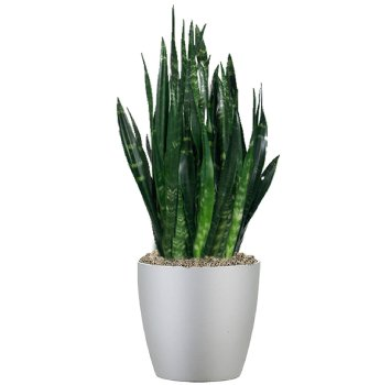 tropical-plant-leasing-browse-plants-sanseviera-black-coral