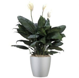 tropical-plant-leasing-browse-plants-spathiphyllum-supreme