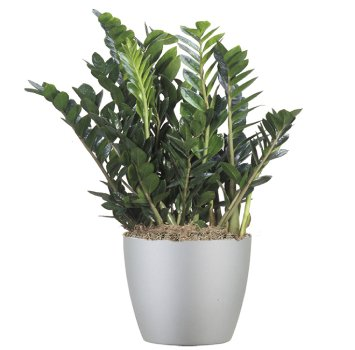 tropical-plant-leasing-browse-plants-zamioculcas