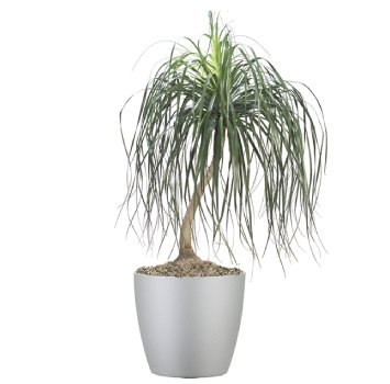 tropical-plant-leasing-high-light-beaucarnea-recurvata-pony-tail-palm