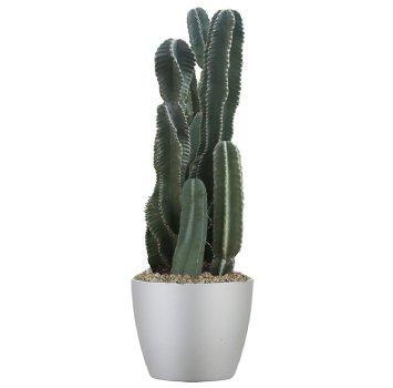 tropical-plant-leasing-high-light-cereus-repandus-peruvian-cactus