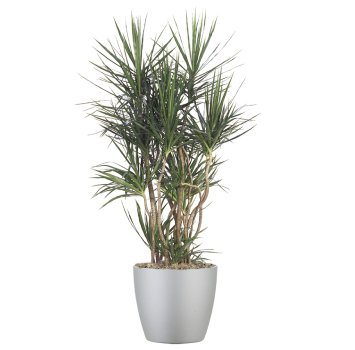 tropical-plant-leasing-high-light-dracaena-cincta-madagascar-dragon-tree