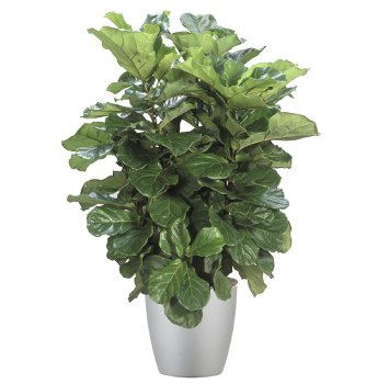 tropical-plant-leasing-high-light-ficus-lyrata-fiddle-leaf-fig-tree