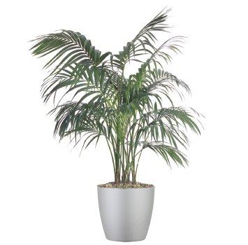tropical-plant-leasing-high-light-howea-forsteriana-kentia