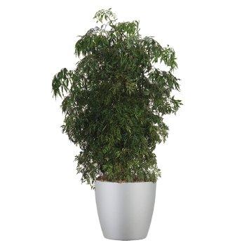 tropical-plant-leasing-high-light-polyscias-fruticosa-ming-aralia