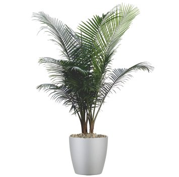 tropical-plant-leasing-high-light-ravenea-rivularis-majesty