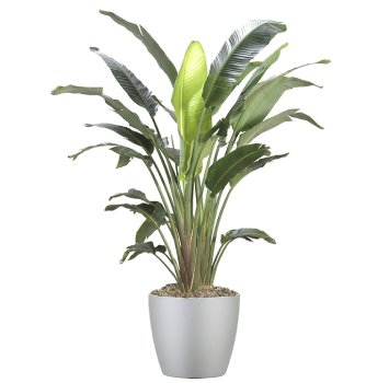 tropical-plant-leasing-high-light-strelitzia-nicolai-white-bird-of-paradise 2