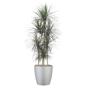 tropical-plant-leasing-medium-light-dracaena-cincta-madagascar-dragon-tree