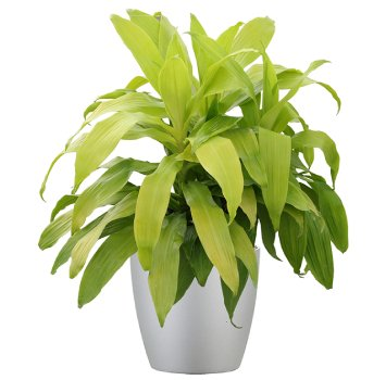 tropical-plant-leasing-medium-light-dracaena-deremensis-lime-light
