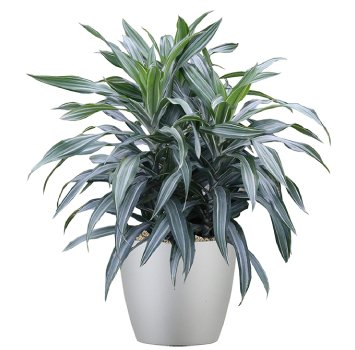 tropical-plant-leasing-medium-light-dracaena-deremensis-warneckii