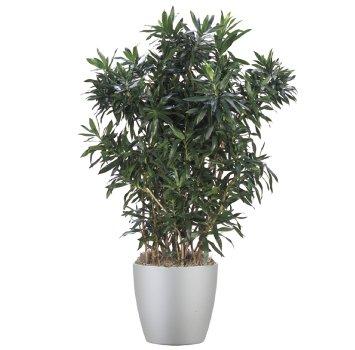 tropical-plant-leasing-medium-light-dracaena-reflexa-song-of-india