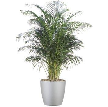 tropical-plant-leasing-medium-light-dypsis-lutescens-areca-palm