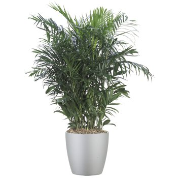 tropical-plant-leasing-medium-light-dypsis-lutescens-bamboo-palm