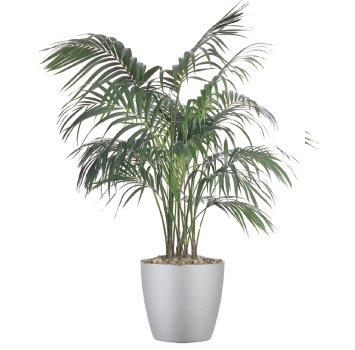 tropical-plant-leasing-medium-light-howea-forsteriana-kentia