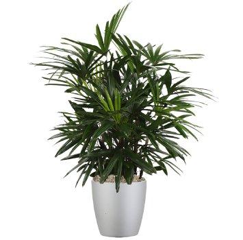 tropical-plant-leasing-medium-light-rhapis-excelsa-lady-palm