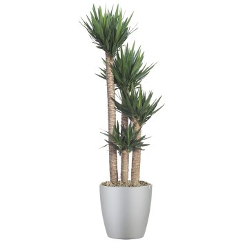 tropical-plant-leasing-medium-light-yucca-guatemalensis-yucca-cane
